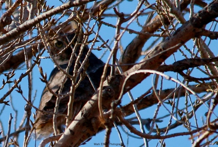 Great-Horned-Owl-39-1024x693