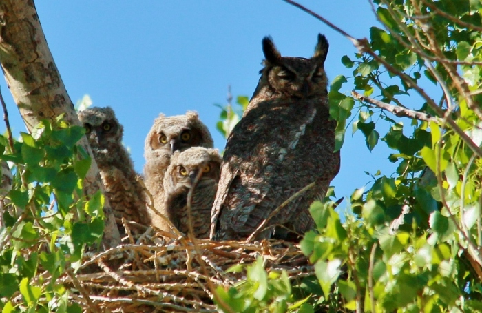 Great Horned Owl (4) (1024x665)