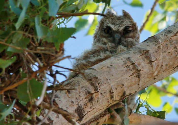 Great Horned Owlet (37) (1024x722)
