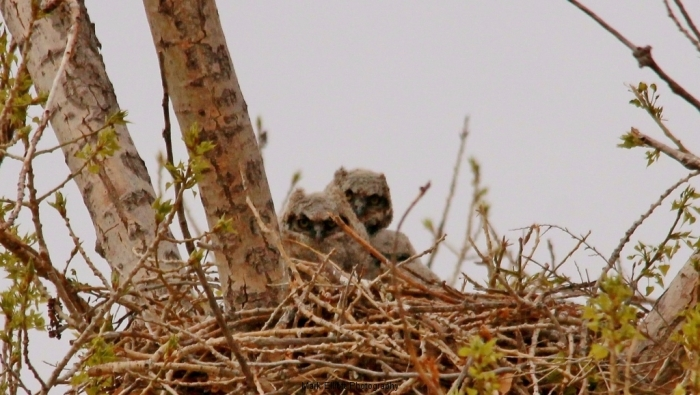 Great-Horned-Owlets-12-1024x579