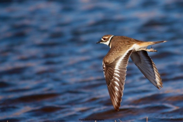 Killdeer-41-1024x684