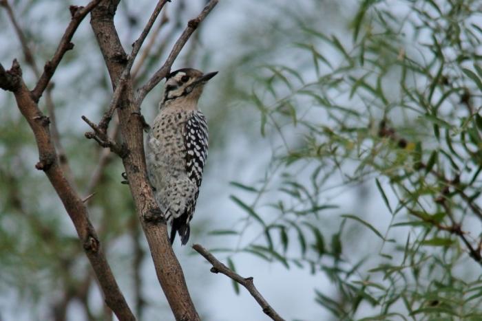 Ladder-backed Woodpecker (138) (1024x684)
