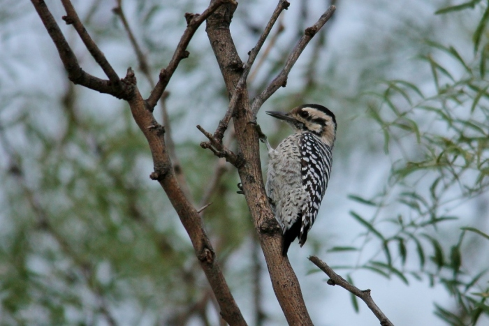 Ladder-backed Woodpecker (139) (1024x684)