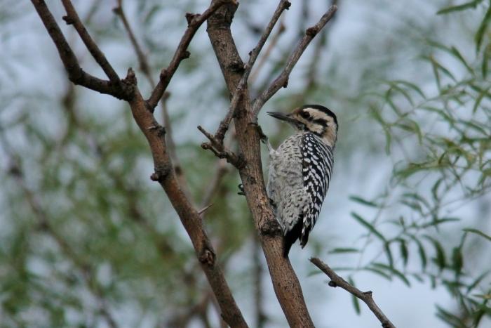 Ladder-backed Woodpecker (139) (1024x684)