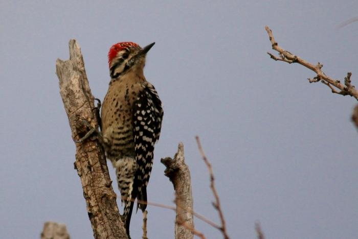 Ladder-backed Woodpecker (140) (1024x685)