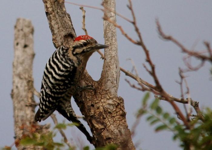 Ladder-backed Woodpecker (155) (1024x724)