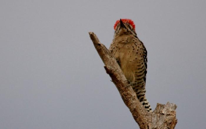Ladder-backed Woodpecker (166) (1024x645)