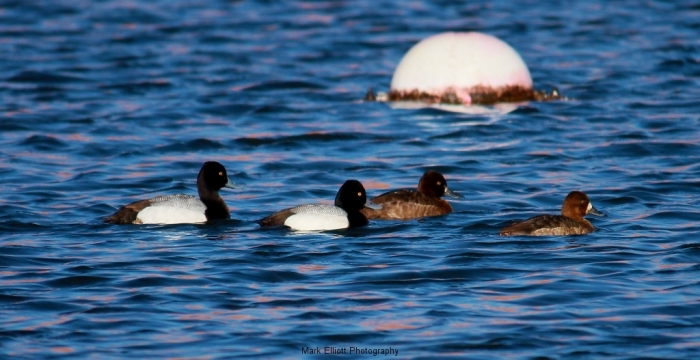 Lesser-Scaup-and-Redhead-2-1024x527