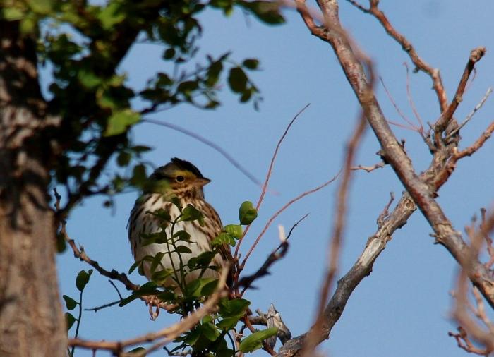 Lincoln's Sparrow (1024x741)