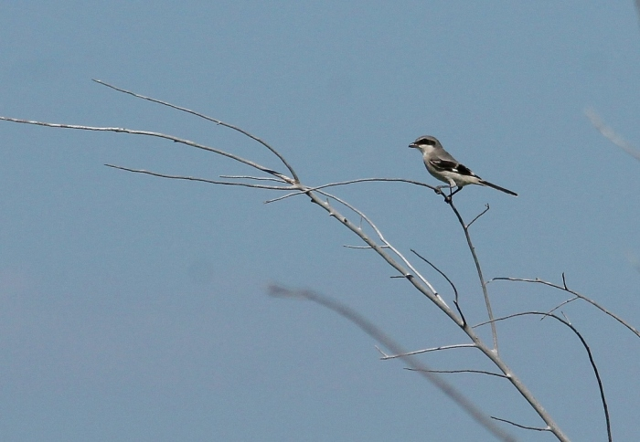 Loggerhead Shrike (18) (1024x709)