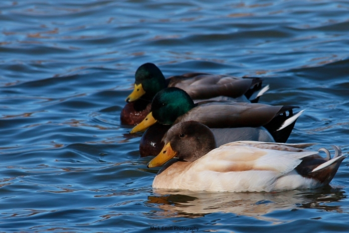 Mallards-and-a-Albacot-Ranger-x-Mallard-Cross-Manky-Duck-1024x684