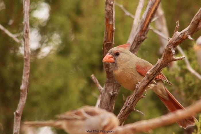Northern-Cardinal-68-1024x684