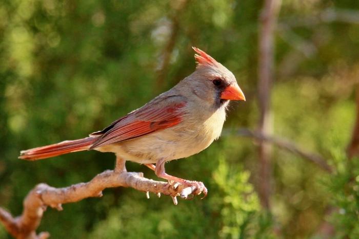 Northern Cardinal (76) (1024x684)