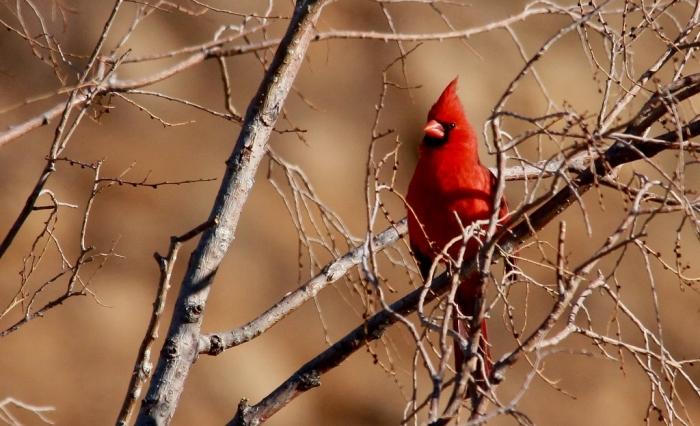 Northern Cardinal (77) (1024x624)