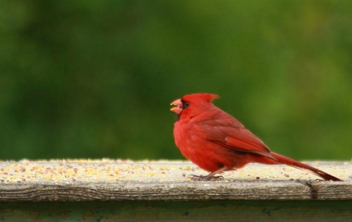 Northern Cardinal (79) (1024x648)