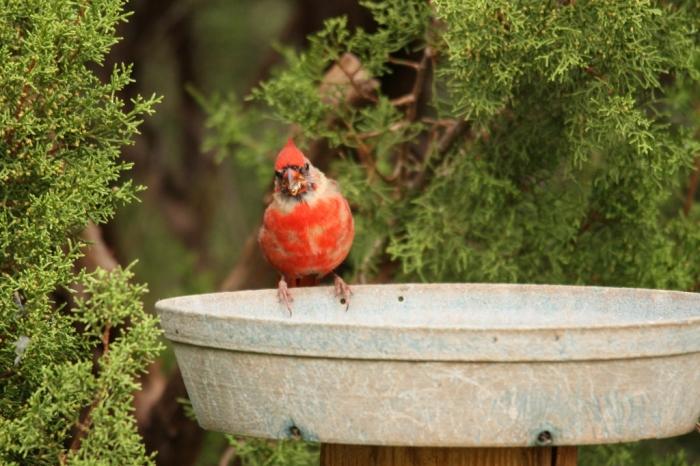 Northern Cardinal (81) (1024x683)