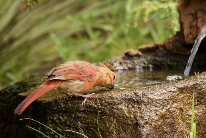 Northern Cardinal (85) (1024x684)