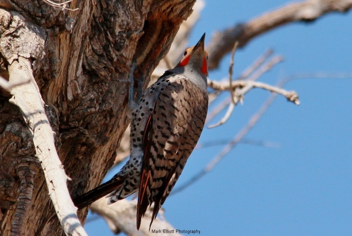 Northern-Flicker-Red-shafted-5-1024x689