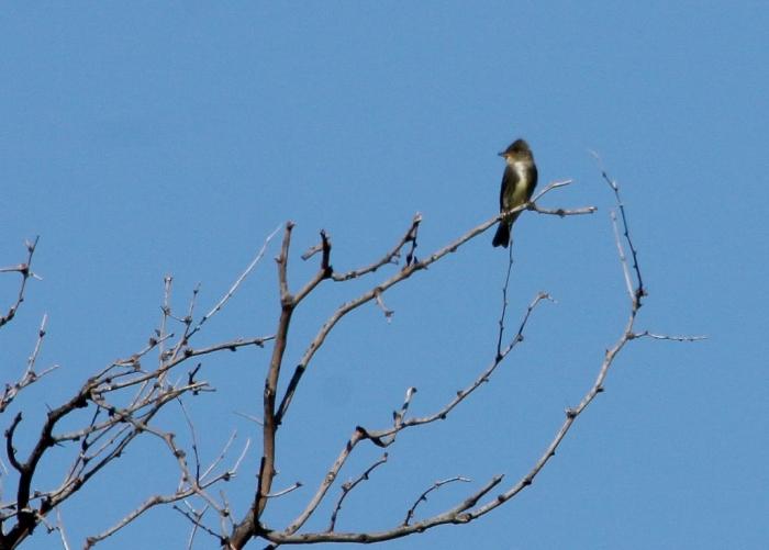 Olive-sided Flycatcher (1024x733)