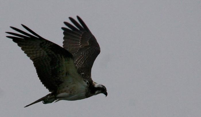 Osprey (4) (1024x597)