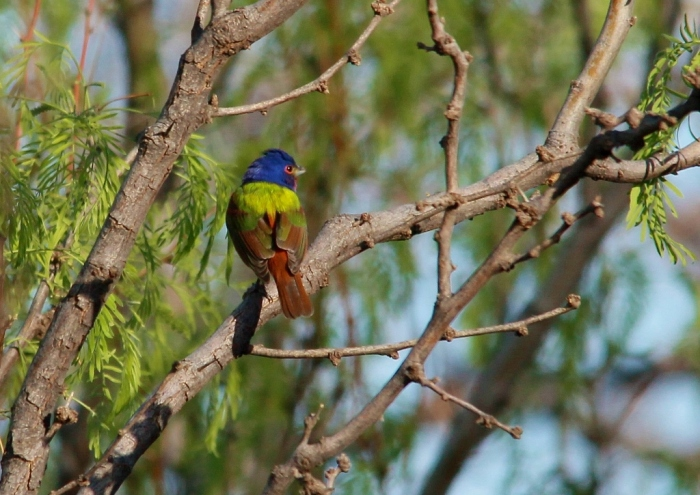 Painted Bunting (46) (1024x725)