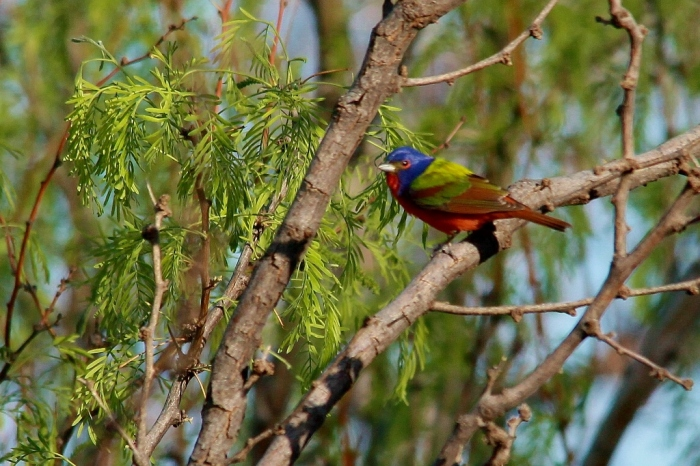 Painted Bunting (48) (1024x683)