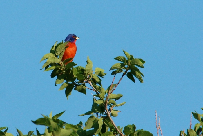 Painted Bunting (50) (1024x691)