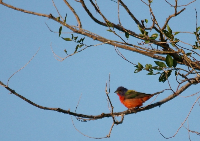 Painted Bunting (52) (1024x724)