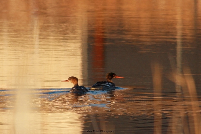 Red-breasted-Merganser-58-1024x683
