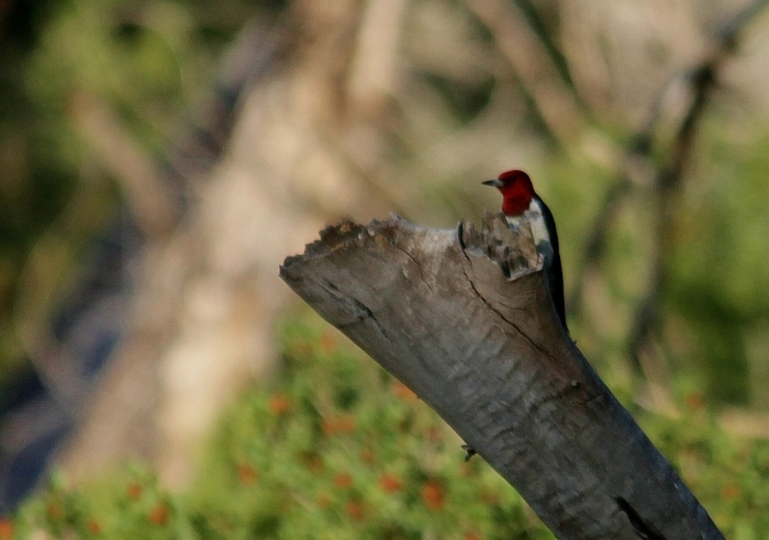 Red-headed Woodpecker (28) (1024x721)