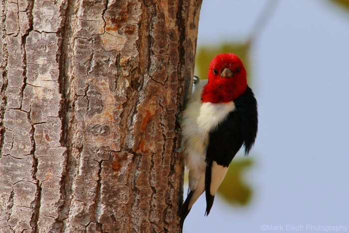 red-headed-woodpecker-68-1280x854