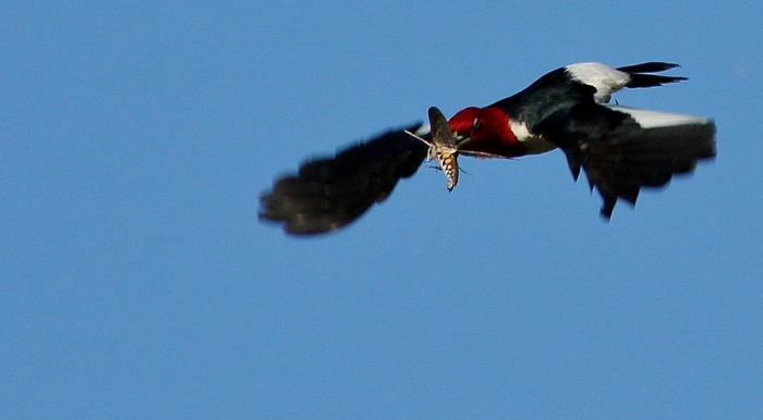 Red-headed Woodpecker (82) (1024x565)
