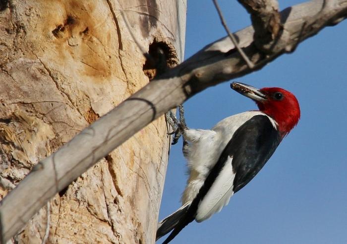Red-headed Woodpecker (84) (1024x721)
