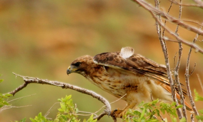 Red-tailed Hawk (18) (1024x618)