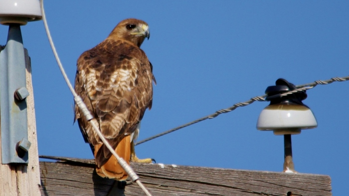 Red-tailed Hawk (87) (1024x575)