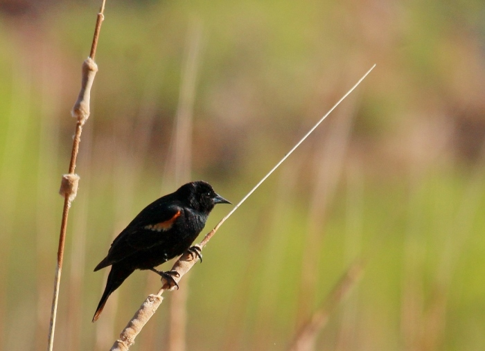 red-winged Blackbird (79) (1024x743)