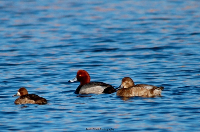 Redhead-and-Lesser-Scaup-7-1024x677