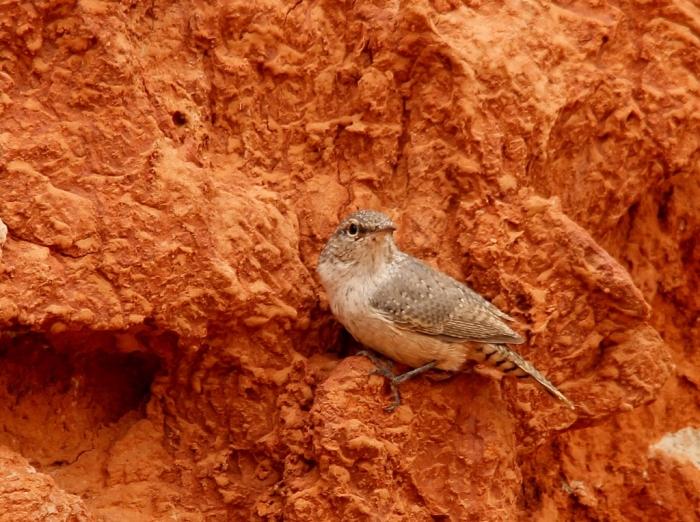 Rock Wren (138) (1024x765)