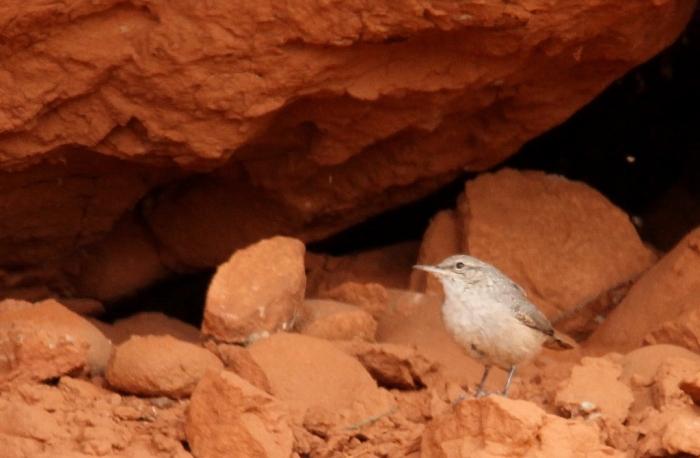 Rock Wren (139) (1024x671)