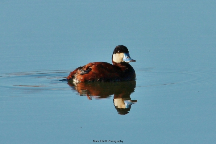 Ruddy-Duck-30-1024x686