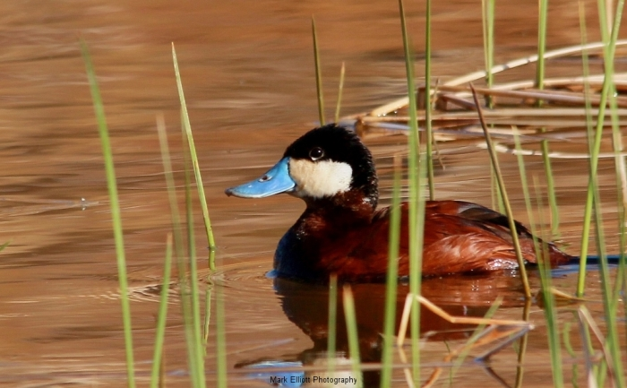 Ruddy-Duck-35-1024x634