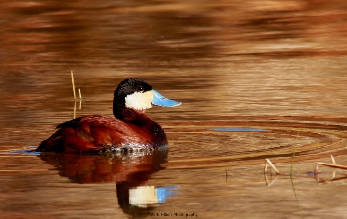 Ruddy-Duck-45-1024x648