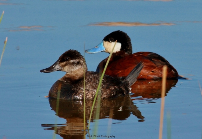 Ruddy-Duck-46-1024x706