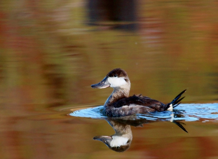 Ruddy duck (50) (1024x749)