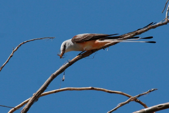 Scissor-tailed Flycatcher (152) (1024x689)