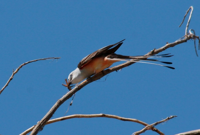 Scissor-tailed Flycatcher (153) (1024x694)