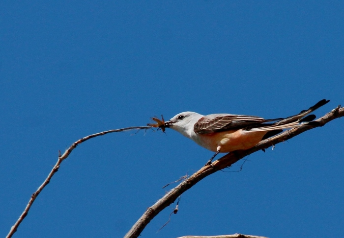 Scissor-tailed Flycatcher (154) (1024x712)