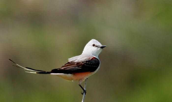 Scissor-tailed Flycatcher (162) (1024x608)