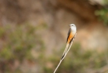 Scissor-tailed Flycatcher (169) (1024x692)