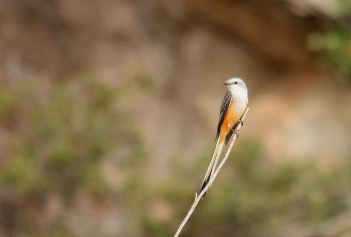 Scissor-tailed Flycatcher (169) (1024x692)